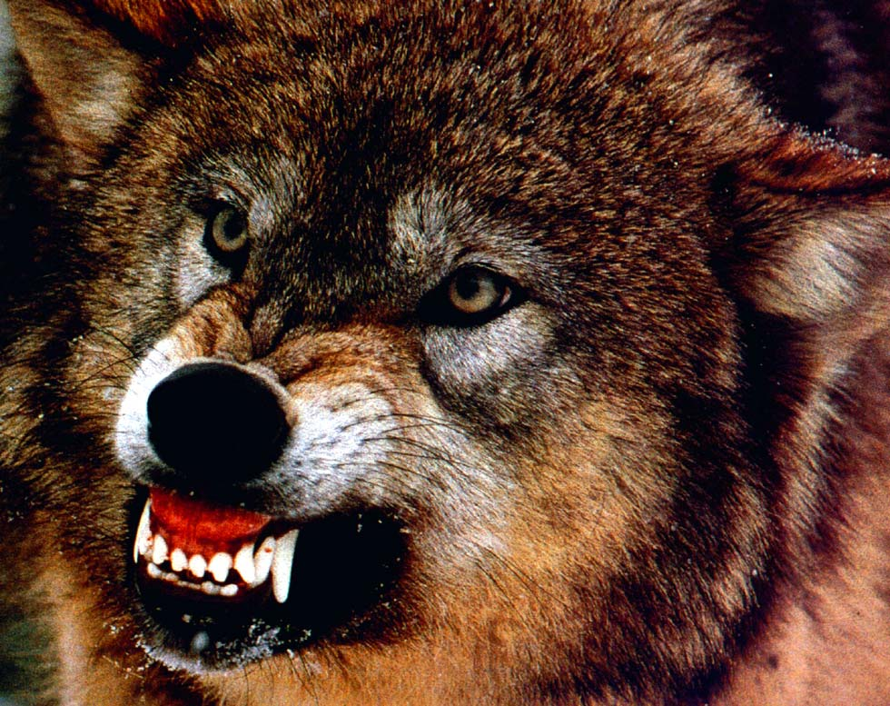В одном из районов Киева поймали волка